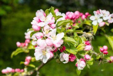 Takıntıların Çiçekleri; Crap Apple