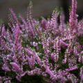 Yoksa Siz De Bir Heather (Funda) Çiçeği Misiniz?