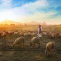 çoban ve koyun