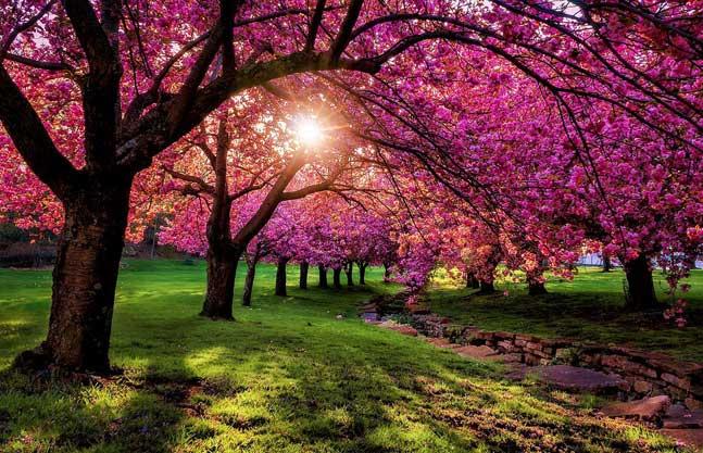 Koca Ağaç