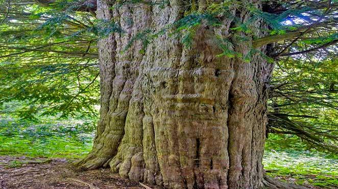 Ölüme Meydan Okuyan Porsuk Ağacının Gizemleri. Bronz Çağı'nda Doğan 4112 Yıllık Porsuk Alaplı'da.
