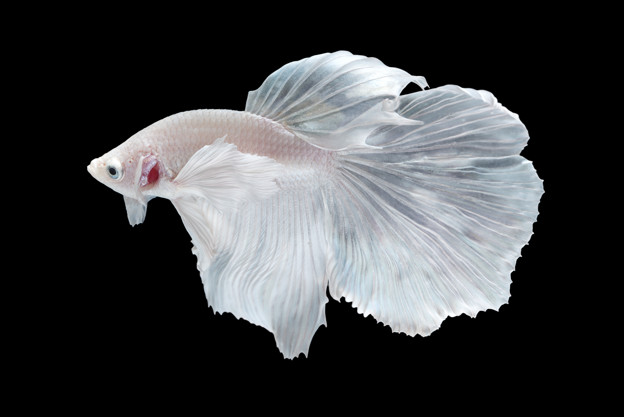 Balık Düşüncesi