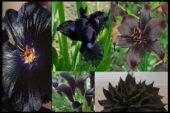 Yıldızlı Petunyalar, Siyah Çiçekler, Gotik Bahçeler