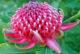 İnancın Çiçeği; Telopea (Waratah)