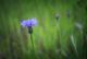 Acaba siz mavi kantaron çiçeği misiniz?
