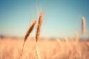 Yunus'un Himmeti, Buğdayın Gluteni