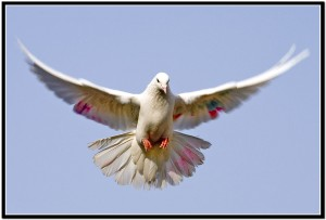 Pigeon-Hd-HD-Photo-2712b5b