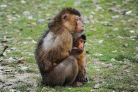 Anne maymun deneyi