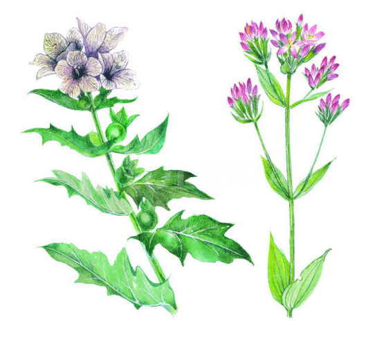 CENTAURY AND HENBANCE - ILLUSTRATION
